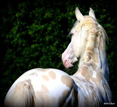 Fire N Ice - Beautiful Appaloosa ❤️