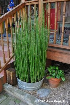 Plant Equisetum in pots this summer. Planted in containers keeps them from getting out of hand since they grow so fast. The containers are a great idea for making a privacy screen area.