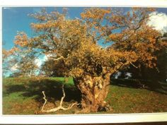 Postcrossing postcard #44, Hereford, United Kingdom.  Ancient oak pollard in Moccas Park, Herefordshire.