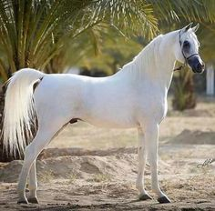 Egyptian Arab stallion