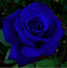 Resultado de imagen de rosas azules