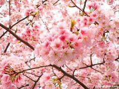 Sakura. Japan