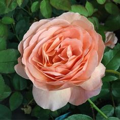 """This rose is the beautiful Louise Clements™. Named for Heirloom Roses founder and a wonderful lady. The old-fashioned, fully double, English-style 4"""" blooms (petals 70) can best be described as an intense copper. It is a color quite unlike that found in any other rose. #heirloomroses #louiseclements #rose #roses #louiseclements #instagardenlovers #instagarden #mygarden #mygardentoday #gardendesign #garten #outdoors #outdoor Heirloom Roses, Types Of Roses, Shrub Roses, English Style, Shrubs, Garden Design, Old Things, Bloom, Copper"""