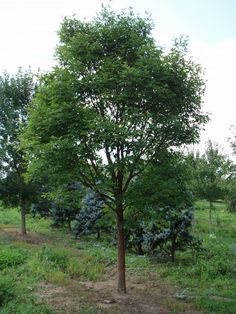 Zelkova serrata 'Gingerbread':  This is a good street and shade tree that has appealing vase-shaped form with a rounded crown.  Green leaves turn yellow, orange, copper, or deep red to purplish-red in fall.