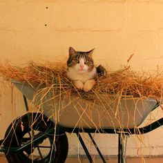 Tired by on DeviantArt Happy Animals, Farm Animals, Cute Animals, Crazy Cat Lady, Crazy Cats, I Love Cats, Cute Cats, Cat Empire, Wheelbarrow Garden