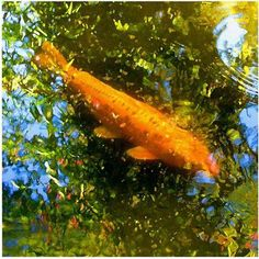 Trademark Fine Art Koi Fish Canvas Wall Art by Amy Vangsgard, Size: 24 x 24, Multicolor