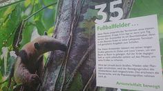 """Unser Stand-Banner auf der Grünen Börse zeigt den kleinen Ameisenbären in seinem Element.  Wiederbewaldungsprojekt """"Ameisenbär sucht Frau"""" in Costa Rica zum Schutz und Erhalt des kleinen Ameisenbären https://www.betterplace.org/de/projects/36425-ameisenbar-sucht-frau-werde-zum-wingman   #Regenwald #Rainforest #Tamandua #Ameisenbär #Anteater #AmeisenbärSuchtFrau #CostaRica #Naturschutz #Conservation #TropicaVerde #MonteAlto"""