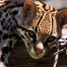 HOUSTON, TX, USA: Today's @Natalee Wexels Blackford photo features Novia the ocelot leaning over a tree branch at the Houston Zoo. (Photo Credit: Stephanie Adams / NGC) #NGC #WILD #photooftheday #zoo #picoftheday #igdaily #texas #ocelot - taken by @Nathalie Cormier-Allen Geo Channels - via http://instagramm.in