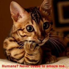 Cute Kittens Bengal Cat Wallpaper Added on , Tagged : Bengal Cat Cute Kittens, at Cute Kittens Pictures Cute Cats And Kittens, I Love Cats, Kittens Cutest, Kitty Cats, Ragdoll Kittens, Bengal Cats, Baby Cats, Baby Animals, Cute Animals