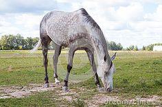 het-vlek-grijze-paard-die-de-weide-weiden-59229860.jpg (400×267)
