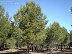 Pinus halepensis - חיפוש ב-Google