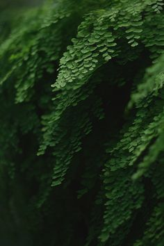 avenca - maiden hair fern