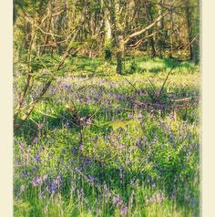 Bluebell time in #de