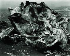 Drift Stump, North Coast  photo by Edward Weston, 1937