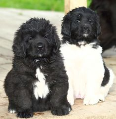 Newfoundland pups ♥ LOVE how the Landseer is looking...contemplating tackling the other