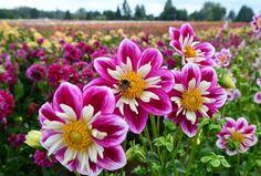 Chị em mê mẩn trồng hoa thược dược nhiều màu đón Tết - Hình 8