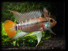 Peixes amazônicos ornamentais (manejo) Nome científico: Apistogramma eunotus