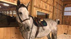 ♥️ #grey #greyhorse #hunterhorse #thoroughbred #ottb #prettypony #jrhunterhorse #aacircuit #equestrian