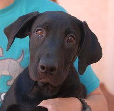 Yesterday, Martin's sister, Mandy, was adopted. Today, Martin is now neutered and debuting for adoption at Nevada SPCA (www.nevadaspca.org). He is a very fun-loving Labrador Retriever mix puppy, 4-5 months of age, and great with people and dogs. We believe Martin will do best with an active lifestyle routine. Martin and Mandy needed us due to their previous owners' financial hardship.