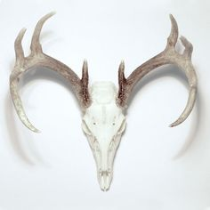 Whitetail Deer Skull and Antlers