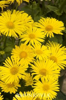 Little Leo Leopard's Bane  Doronicum orientale 'Little Leo'    Versatile and easy to grow, the brilliant yellow daisies dazzle for months. A compact selection that thrives in sunny flowering borders as well as under trees and shrubs. Flowers are a nice addition to arrangements. Herbaceous perennial.