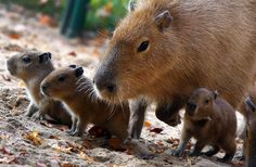 Four baby capybaras are accompanied by their mother as they explore their enclosure on November 3, at the zoo in Schwerin, Germany.