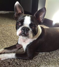 Pretty and small Boston terrier demonstrating a down command
