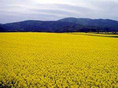 青森県横浜町 菜の花畑