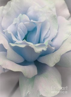 I Dream Of Roses Greeting Card for Sale by The Art Of Marilyn Ridoutt-Greene
