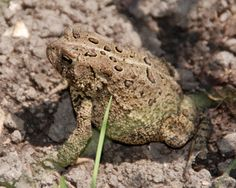 Toads make great gardening partners. They eat insects, slugs and snails and ask for very little in return. Help attract these natural predators to your garden with just a few changes in your gardening habits...
