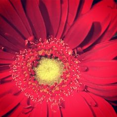 "#california #flowers #photography #artaday #art #artchallenge ""red-petaled day"""
