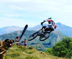 My little hound loves bikes. Can't get enough of the downhill action. #downhillmtb #queenstownnz