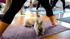 The other difficulty, obviously, would be trying to concentrate when precious moments like this are happening right under you. | There Is Such A Thing As Bunny Yoga And It Is Incredibly Cute