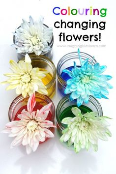 Science experiment with colour changing flowers. Great way to teach children about how water is absorbed up the stem and to the parts of the flower or plant - Laughing Kids Learn