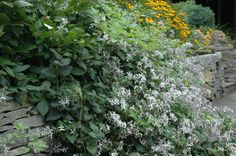Clematis Praecox on stone wall in A Garden For All by Kathy Diemer http://agardenforall.com