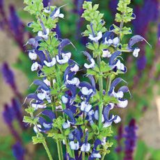 Madeline Salvia - Bareroot Plant // aw Spring 2012 $13