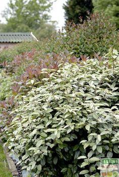 Eleagnus ebbingei est un arbuste au feuillage persistant vert-gris, idéal en haie libre ou taillée. Découvrez-le