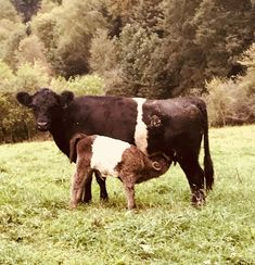 Miniature Breeds Of Cattle That Are Perfect For Small Farms Miniature Cow Breeds, Miniature Cows, Belgian Blue Cattle, Galloway Cattle, Beef Cattle, Blue Roan, Red Belt, Farm Animals, Heart