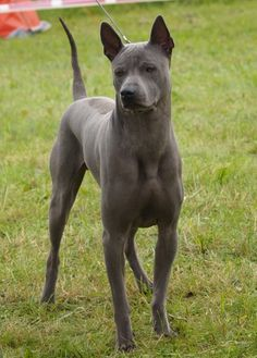 My lovely Thai Ridgeback Dog Hiro is 5 years old now. Hound Dog Breeds, Rare Dog Breeds, Big Dogs, Cute Dogs, Dogs And Puppies, Perros Rat Terrier, Beautiful Dogs, Animals Beautiful, Perros Chow Chow