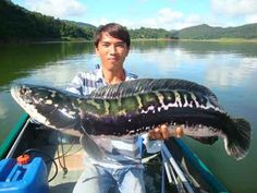 Snakehead This river monster has the ability to walk on land and also swim in water. It can breathe in any environmental condition. It has razor sharp teeth that can kill in a matter of seconds. Cool Fish, Big Fish, Deep Sea Fishing, Gone Fishing, Trout Fishing, Kayak Fishing, Weird Creatures, Sea Creatures, Snakehead Fish