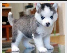 Pomsky ♥♥ I want one!!!!