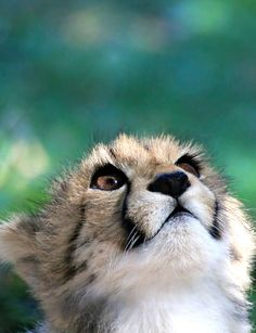 Focussing by *snowwhite* I Love Cats, Big Cats, Cool Cats, Fluffy Animals, Baby Animals, Cute Animals, Cheetah Pictures, Baby Cheetahs, Cheetah Cubs