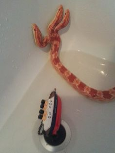 Hydra, my three-headed corn snake
