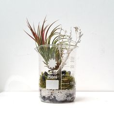 Tillandsia Brachycaulos Perennial Flowering Plants, Perennials, Paris Canal, Paris Atelier, Canal Saint Martin, Air Plants, Planting Flowers, Greenery, Glass Vase