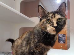 #Montreal cat rescue ~ Oct 09, 2017 ♥ AVAILABLE FOR ADOPTION is ANASTASIA here <3 This friendly tortie female, pulled from a kill-pound ~ 8 years old, sterilized, up-to-date on vaccinations, dewormed, microchipped. She is very affectionate and loves to be petted, but also a little shy. Requires a calm environment. If you'd like to adopt this mature, classy lady with her striking marks, please email our adoption coordinator Tracy > montrealcause4paws@gmail.com