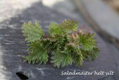 Saladmaster helt vilt: Forvelling av nesler/brennesle