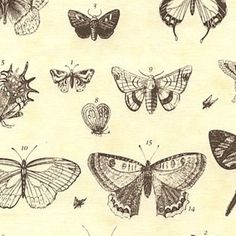 Image of Papillion in Butterfly Etchings
