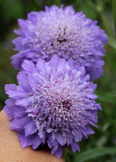 Pin-cushion Flower: Scabiosa atropurpurea 'Florist's Blue' - by anniesannuals Exotic Flowers, Purple Flowers, Beautiful Flowers, Yellow Roses, Pink Roses, Trees And Shrubs, Belleza Natural, Flower Pictures, Planting Flowers