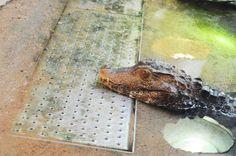crocodile photo by: Nea-Mari Vallin
