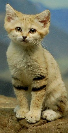 "Sand cat - had to google this one to learn that it's a small, stocky wild cat that lives in deserts.  Since 2002 this small cat has been listed as ""near threatened"" due to concern over potential low population size and decline."